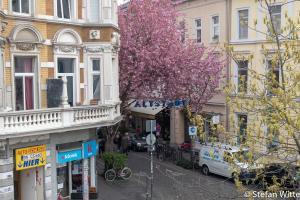 Kirschblüte Bonn-12