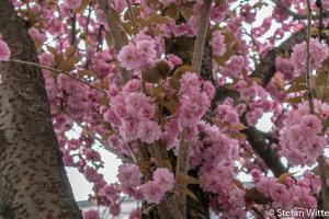 Kirschblüte Bonn-3