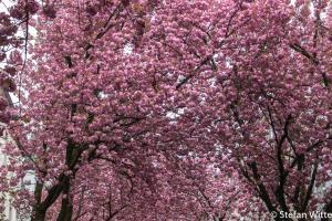 Kirschblüte Bonn-6