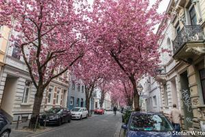 Kirschblüte Bonn-7