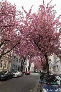 Kirschblüte Bonn-8