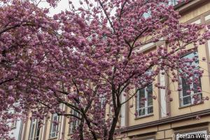 Kirschblüte Bonn-9