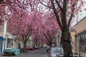 Kirschblüte Bonn